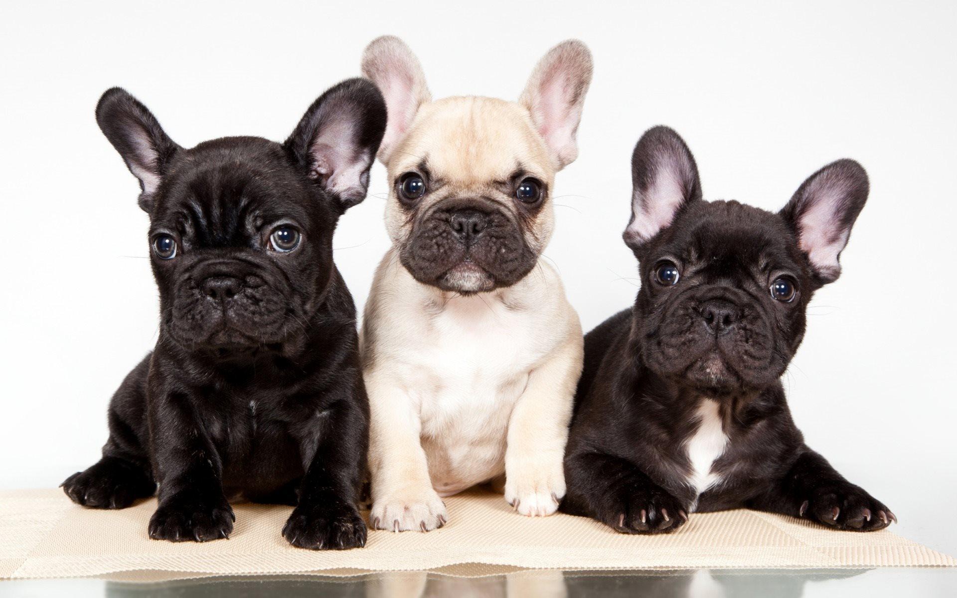 I cani più apprezzati: la grande crescita del Bulldog Francese